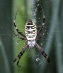 Zebra oder Wespenspinne Argyope bruennichi.JPG