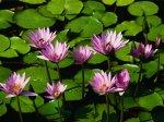 Wasserlilien.jpg