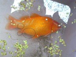 Krankheiten parasiten seite 4 hobby gartenteich for Gartenteich mit goldfischen
