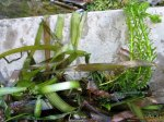 Aquarienpflanzen im Teich.JPG