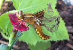 Libelle beim Trocknen.jpg