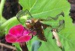 Libelle von vorne.jpg