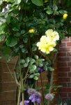 Clematis,Rose,Kiwi.jpg