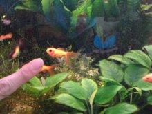 Fische allgemein seite 19 hobby gartenteich for Moderlieschen haltung