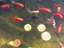 Paaren sich shubunkin mit goldfischen oder sarasas for Shubunkin im gartenteich