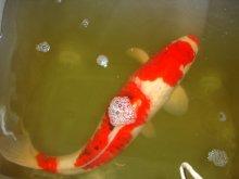 Krankheiten parasiten seite 6 hobby gartenteich for Gartenteich mit goldfischen