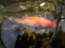 Krankheiten parasiten seite 7 hobby gartenteich for Goldfische gartenteich